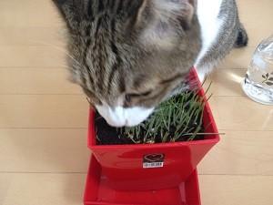 猫草,食べる1