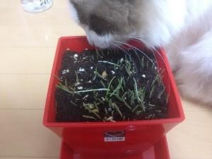 猫草,食べる