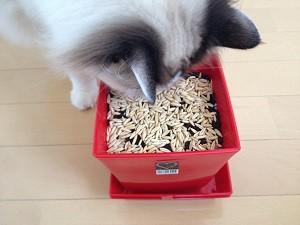 猫草,種まき