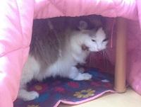 猫こたつに入る猫