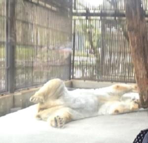 とべ動物園、しろくま