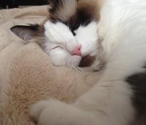 猫ホイホイで爆睡する猫