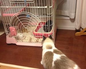 新入り猫をケージ越しに威嚇する先住猫