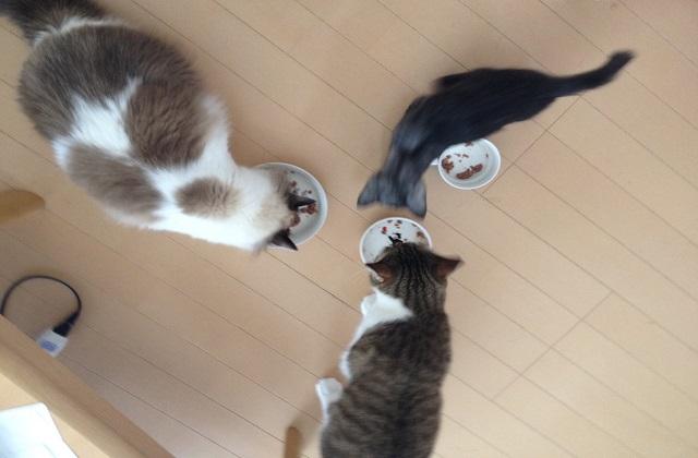 新入り猫,先住猫,対面方法