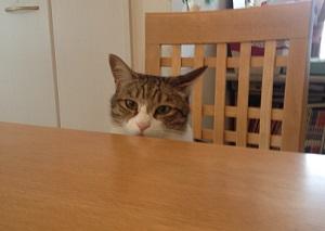 椅子に座る先住猫