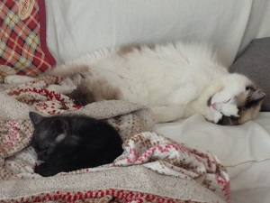 新入り猫と先住猫が仲良く眠る